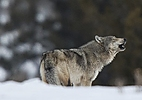 Wolf Watching in Yellowstone National Park | Escorted Tour